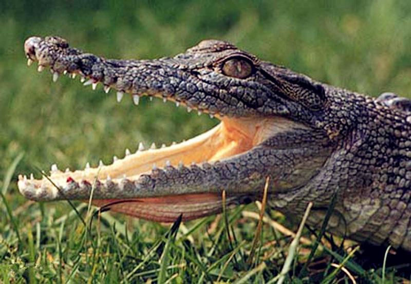 鳄鱼+图片来自网络