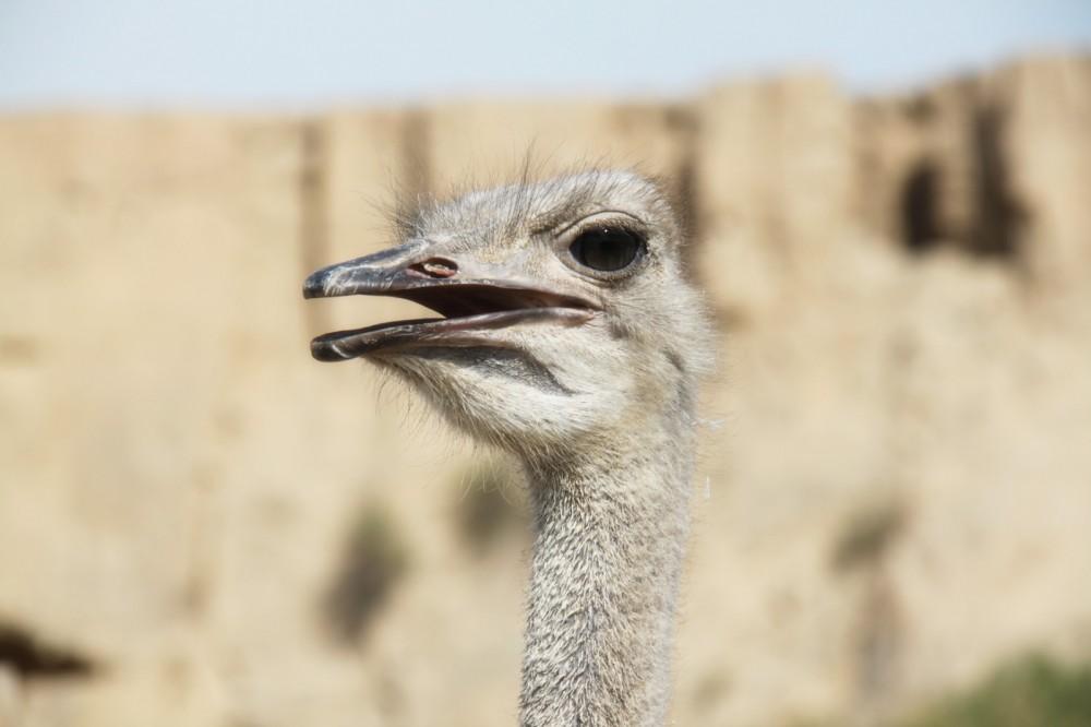 银川旅游景点水洞沟鸵鸟