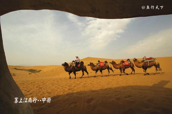 沙坡头骆驼