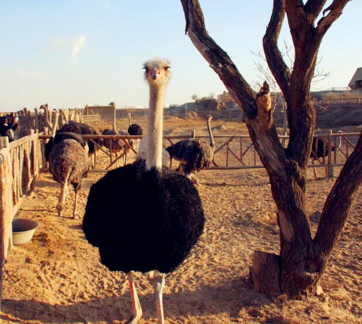 银川旅游攻略之水洞沟鸵鸟