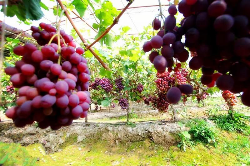 宁夏盛产葡萄酒