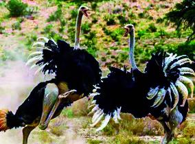 水洞沟-鸵鸟乐园